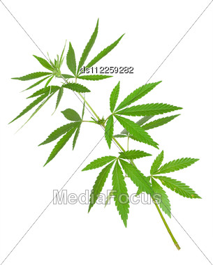 Cannabis Plant Stock Photo
