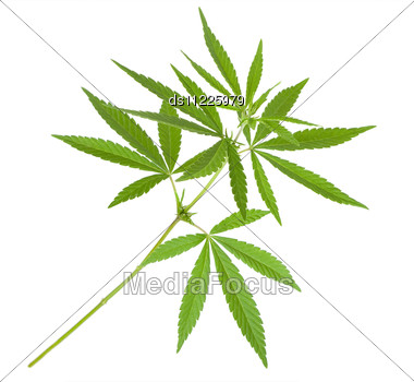 Cannabis Plant Stock Photo