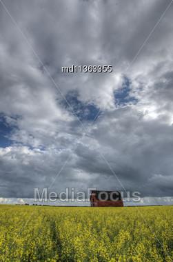 Canola Crop Canada And Red Barn Saskatchewan Stock Photo