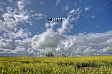 Canola Crop Canada And Red Barn Saskatchewan Stock Photo