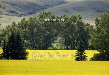 Canola Crop In Stewart Valley Saskatchewan Canada Stock Photo