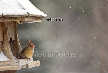 Cardinal At Bird Feeder Snow Storm Canada Female Stock Photo