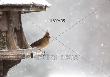 Cardinal At Bird Feeder Snow Storm Canada Female Stock Photo