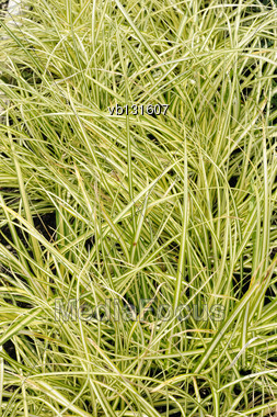 Carex Oshimensis Variety Evergold, Decorative Plant In The Garden Stock Photo