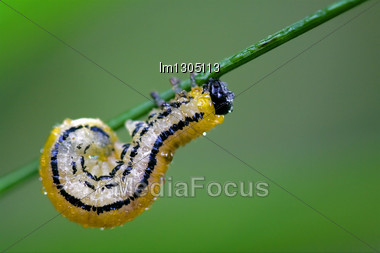 Caterpillar Of Papilionidae In The Head Branch Fennel Stock Photo
