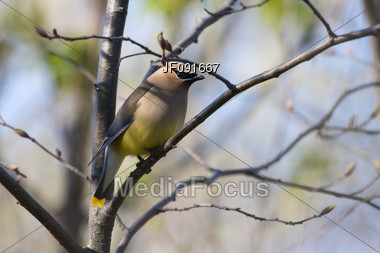 Cedar Waxwing Perched on a Branch Stock Photo