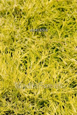 Chameacyparis Pisifera Filifera, Groundcover Plant, Decorative Texture In The Garden Stock Photo
