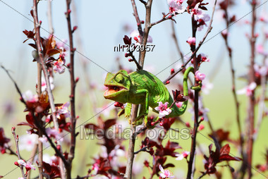 Chameleon Chews The Fly That He Caught Stock Photo