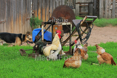 Characteristic Rural Landscape Of Eastern Europe, Showing Cock, Hens And Dog. Selective Focus On The Cock Stock Photo
