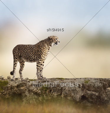 Cheetah (Acinonyx Jubatus) Stands On Top Of A Rock Stock Photo