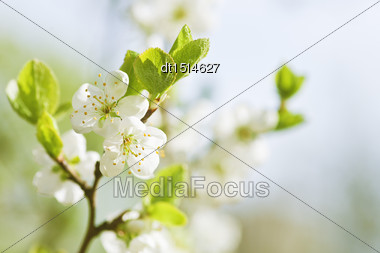 Cherry Flowers, Abstract Spring Backgrounds Stock Photo