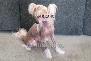 Chinese Crested Dog Close Up Portrait Stock Photo