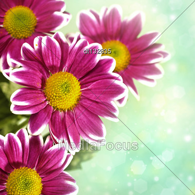 Chrysantemum Flowers Over Green Bright Background Stock Photo