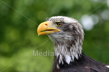 close up of an adult bald american eagle Stock Photo