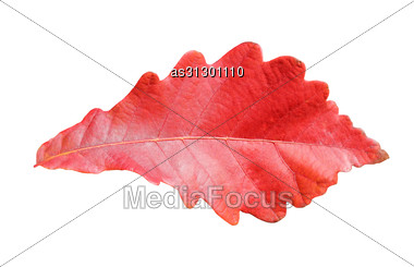 Close-up Of Autumn Oak Leaf On White Stock Photo