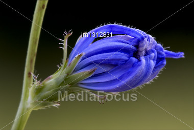 Close Up Of A Blue Composite Cichorium Intybus Pumilium Flower Stock Photo