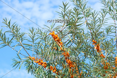 Close Up Of The Branch Of Sea-buckthorn With Berries. Stock Photo