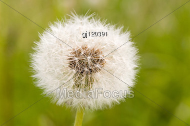 Close-up Of Dandelion Clock ,on Green Blurry Background Stock Photo