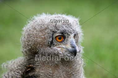 close up of a great horned owl chick Stock Photo