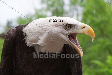 Close Up Head Shot Of An American Bald Eagle Stock Photo