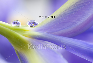 Close Up Iris Macro Water Drops In Studio Stock Photo