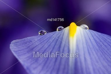 Close Up Iris Macro Water Drops In Studio Stock Photo