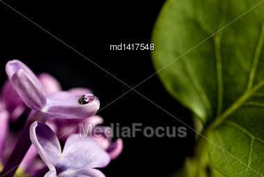 Close Up Lilac In Studio Macro Water Drops Stock Photo