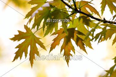 Close-up Maple Leaves Season Background Stock Photo