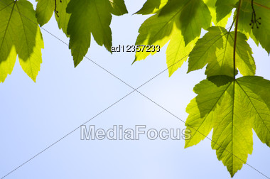 Close-up Maple Tree Green Leaves Season Background Stock Photo