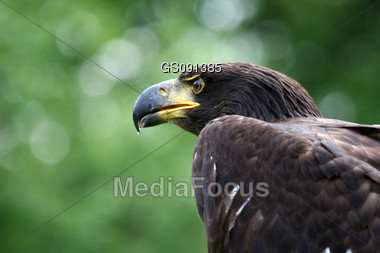close-up of a golden eagle Stock Photo