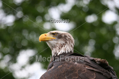 close up of an american bald eagle Stock Photo