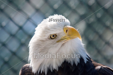 Close-Up Of American Bald Eagle Stock Photo