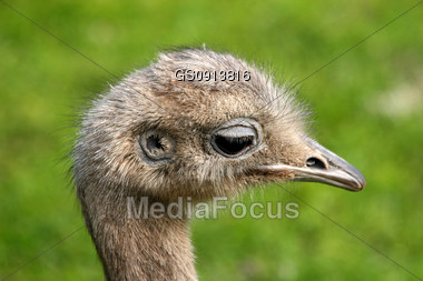 close-up of an ostrich Stock Photo