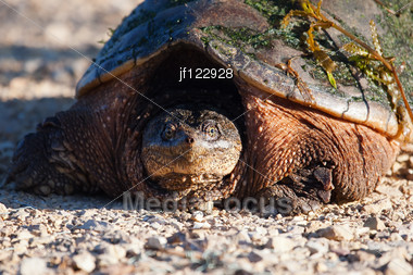 Close Up Of A Common Snapping Turtle. Stock Photo