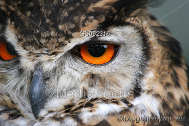 close up of great horned owl Stock Photo