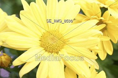 A close up picture of a yellow mum Stock Photo