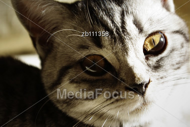 Close Up Portrait Of British Short Hair Kitten Stock Photo