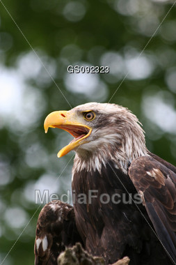 close up of a screaming bald american eagle Stock Photo