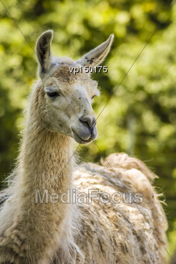 Close-up Shot Of A Llama With Blurry Background Stock Photo