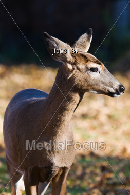 Close-up Side View Of A White Tailed Doe Stock Photo