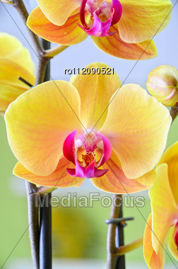 Close-up Of A Yellow Orchid With Pink Spots Stock Photo