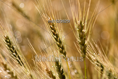Close Wheat In Field In Saskatchewan Canada Stock Photo