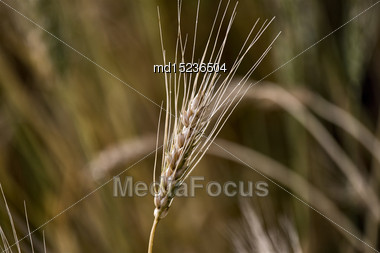 Close Wheat In Field In Saskatchewan Canada Stock Photo