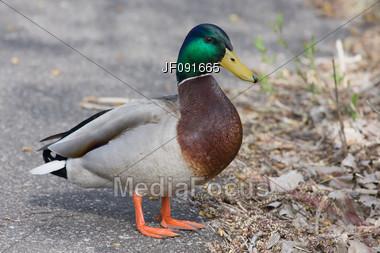Closeup of a Mallard Walking by Stock Photo