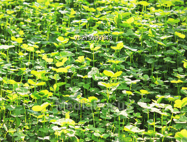 Clover Background At Sun Light. Green Clover Leaves. St. Patrick's Day Stock Photo