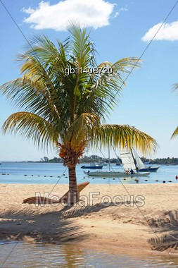 coconut palm tree growing on the public beach of Mauritius Stock Photo