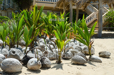 Collection Of Coconut Seedlings Ready To Be Planted Stock Photo