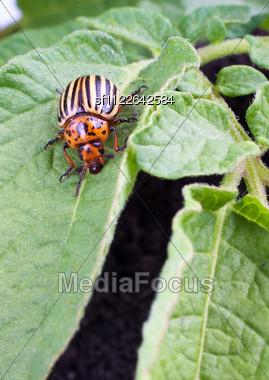Colorado Potato Beetle On A Green Leaves Stock Photo