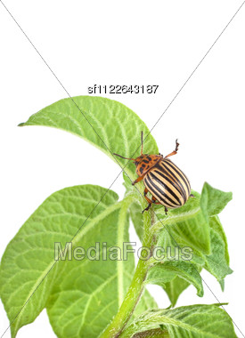 Colorado Potato Beetle On A Green Leaves Stock Photo