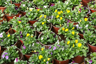 Colorful Flowers In Pots. Stock Photo